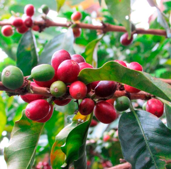jardin jerico antioquia coffee